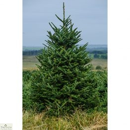 Fraser Fir Real Christmas Tree_1