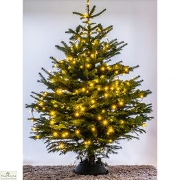 Nordmann Fir Real Christmas Tree_1