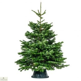 Nordmann Fir Real Christmas Tree